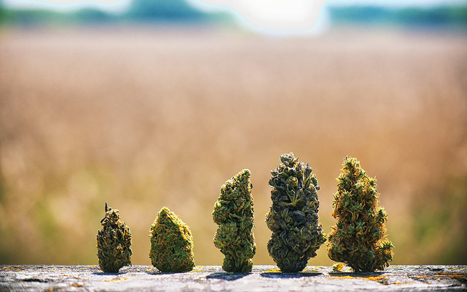 The best strains of weed with an equal ratio