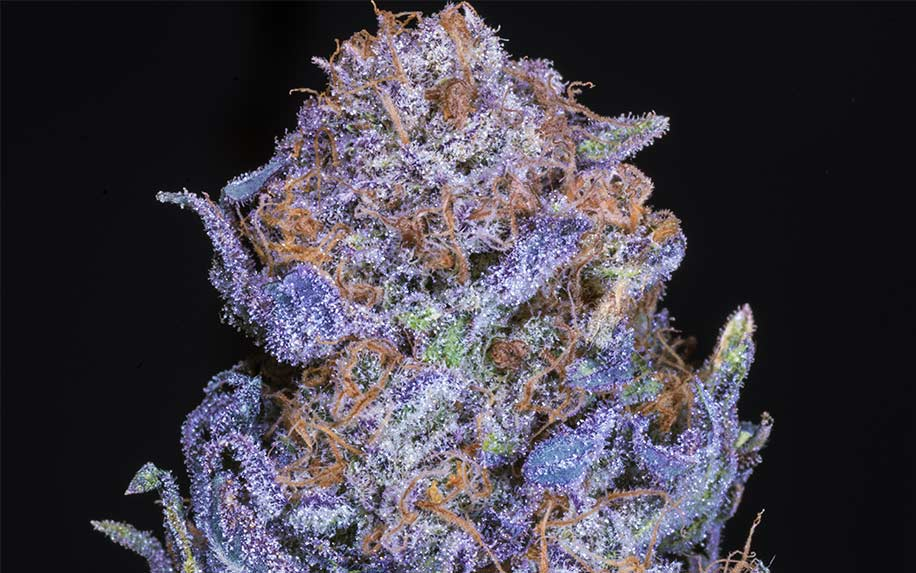 8 Strains of weed/cannabis that have the most THC in them