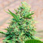weed/cannabis bud kosher kush