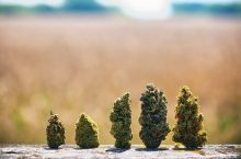 The Best 1:1 Weed Strains