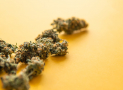 6 Weed Strains With the Most CBD