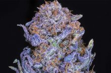 8 Weed Strains With The Most THC
